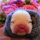 Le bébé Bulldog doit être euthanasié peu après sa naissance : une idée un peu folle va tout changer !