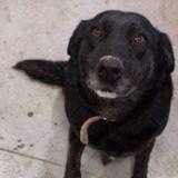 Le Labrador arrive le 31 décembre au refuge : les employés sont furieux lorsqu'ils découvrent pourquoi