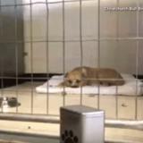 Un jeune garçon s'approche d'un Pitbull : le chien se lève et ce qui se passe donne des frissons