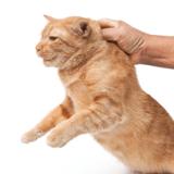 Pourquoi il ne faut pas tenir un chat par la peau du cou ?