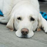Une pilule anti-âge pour les chiens est en test !