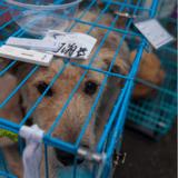En Chine, le terrible festival de viandes de chiens et de chats aura lieu encore cette année à Yulin
