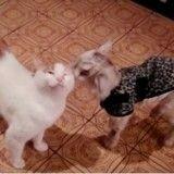 Un chat devient le papa d'un chevreau orphelin