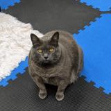 Contraint de courir sur un tapis roulant à cause de son embonpoint, ce chat use d'un stratagème drôlissime