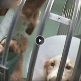 Révélations choc: quand le Téléthon finance la souffrance des chiens
