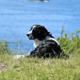 Épidémie mystérieuse : des dizaines de chiens sont morts