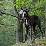 Le plus grand chien du monde est mort à l'âge de 8 ans et demi
