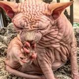Ce chat Sphynx aux 1000 plis va vous rendre fou !