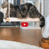 Maru le chat star du web va faire de vous un mélomane (Vidéo du jour)