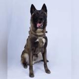 Raid contre Daesh : ce chien soldat est devenu un véritable héros