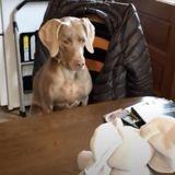 Cette rencontre entre ce chien et cette peluche éléphant est mythique !