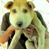 La tête de ce chien errant a triplé de volume : le vétérinaire l'examine et pousse un cri de dégoût