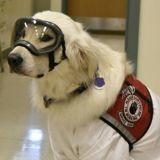 Masque et blouse : ce chien d'assistance porte l'uniforme réglementaire pour venir au labo avec son humaine