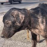 Les bénévoles sauvent un chien errant : ils retirent son collier et sont pris de nausées tant la situation est horrible