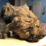 Découverte d'un chiot en Sibérie : est-ce le plus vieux chien du monde ?