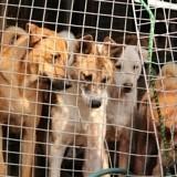 Corée du Sud : Un éleveur de viande de chien accepte d'arrêter son activité