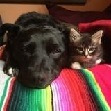 Rejetés par leur mère biologique, ces chatons ont été élevés par une formidable maman de substitution