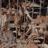 Ferme de l'enfer en Espagne : les sauveteurs entrent et restent sans voix face aux 41 chiens présents...