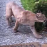 Il cherche son chat devant la maison pour le faire rentrer et tombe sur... un puma !