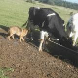 Ce chien errant s'approche d'une vache : 10 minutes après, l'éleveur est sans voix !