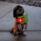 Des bonbons ou un sort? Ces chiens ne vous laissent pas le choix (Vidéo du jour)