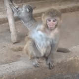 Blessé, ce bébé singe se laisse mourir... son amitié avec un chat va tout changer