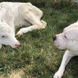 Un ancien chien d'appât rencontre un petit veau aveugle, ce qui se passe ensuite étourdit le personnel du refuge