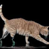 Suite à l'amputation de ses pattes, Vito est devenu un chat bionique