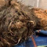 Il trouve un chien méconnaissable à cause de ses poils : 4h après, personne n'en croit ses yeux !