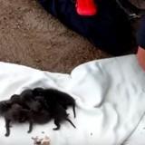 Il sauve des chiots, mais réalise ensuite que ce ne sont pas du tout des chiots (Vidéo du jour)