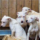 Le sauvetage de 60 chiens élevés pour se battre contre des cochons sauvages