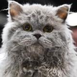 Mais qui sont ces chats frisés qui font craquer les internautes ?? (Photos)