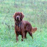 Une seconde chance pour 31 chiens de chasse maltraités
