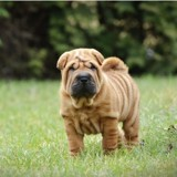 Shar Pei : tout savoir sur cette race de chien