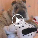 Ce Shar Pei est totalement fan de sa peluche (Vidéo du jour)
