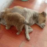 Le sauvetage de Shi Bao, la chienne à deux pattes, et de ses petits