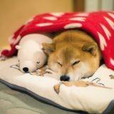 Ce Shiba Inu et son double en peluche dorment dans les mêmes positions et font fondre le Web