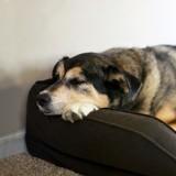 Arthrose du chien : un nouveau traitement prometteur avec une efficacité d'au moins 1 an !