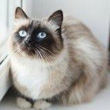 Siamois : tout savoir sur cette race de chat