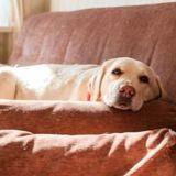 Le Labrador sera-t-il bientôt considéré comme un « chien dangereux » ?
