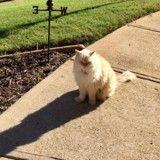 Ce chat rend chaque jour visite à sa voisine pour la plus adorable des raisons