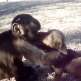Quand un chiot et un singe nous offrent un moment d'amour unique (Vidéo du jour)