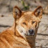 Autrefois éteint, le chien le plus ancien et le plus rare du monde redécouvert en pleine nature