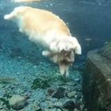 Ce chien-sirène va vous faire plonger dans un océan de douceur (Vidéo du jour)