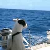 Skipper, le Jack Russell adepte de croisières et d'aventures