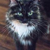 Voici Sophie, le chat au pelage le plus long du monde