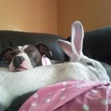 Ce Pitbull a pour meilleur ami un lapin !