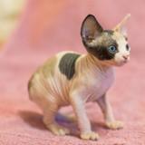 10 adorables chatons Sphynx qui vont vous faire craquer
