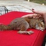 Cet adorable bébé écureuil handicapé va vous faire craquer