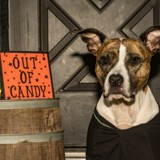 Des chiens se déguisent pour Halloween pour casser les clichés sur les chiens dits « dangereux »